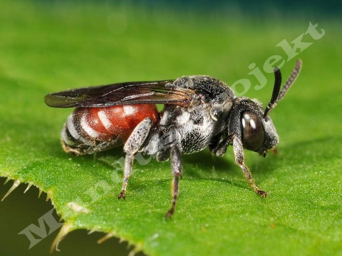 Ammobates punctatus femalea