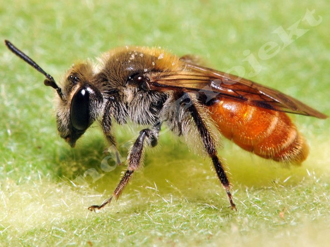 Andrena marginata female