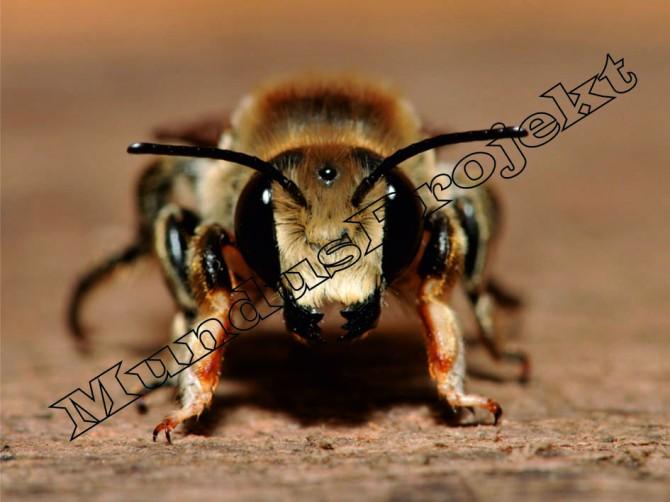 Megachile lagopoda male1