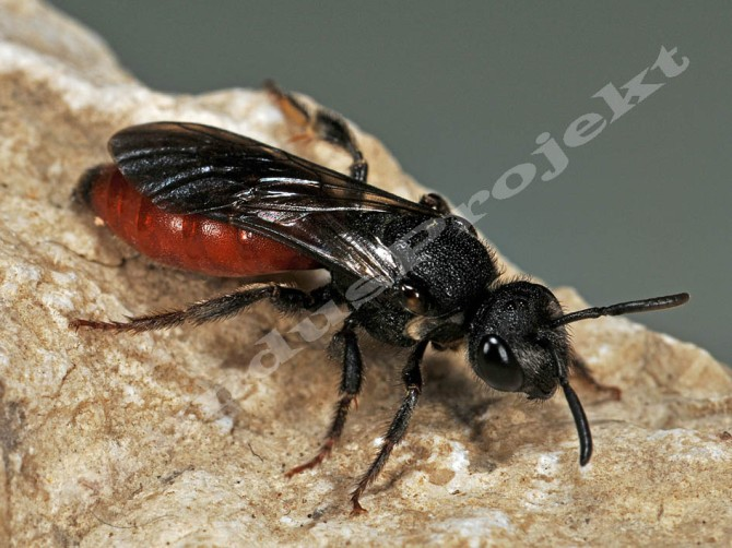 sphecodes albilabris female1a