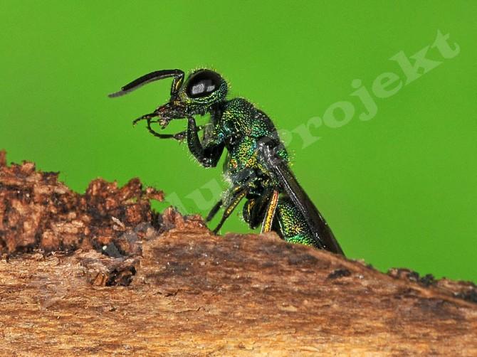 Trichrysis cyanea female1a